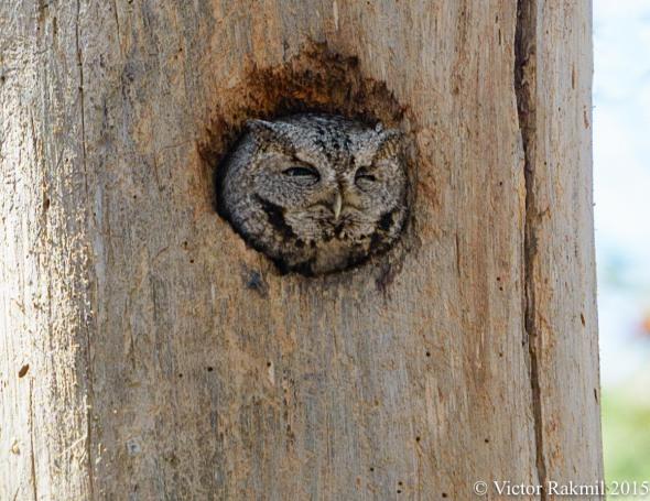 Eastern Screech Owls-2