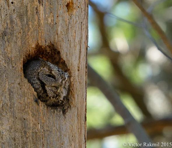 Eastern Screech Owls-3