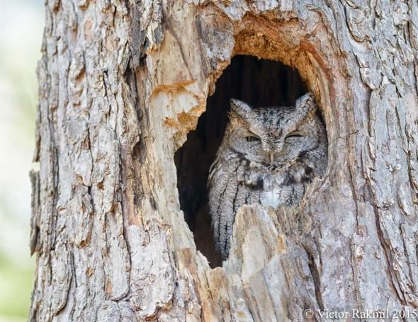 Eastern Screech Owls-4