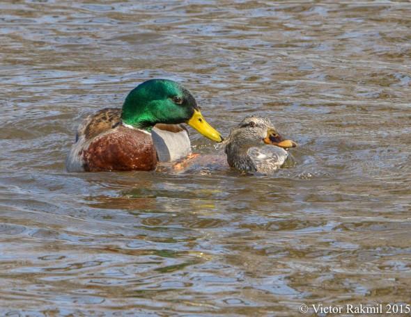 Aquatic Birds Do It-2