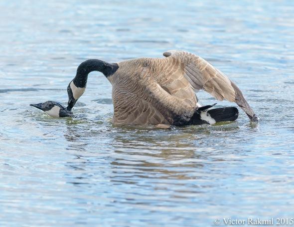 Aquatic Birds Do It-3