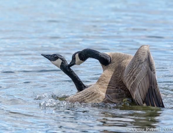 Aquatic Birds Do It-4