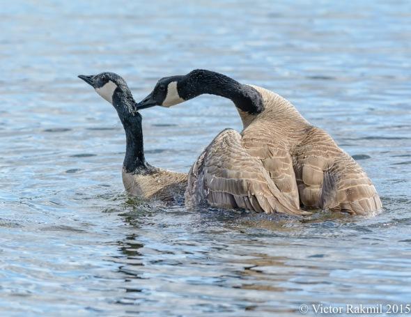 Aquatic Birds Do It-5