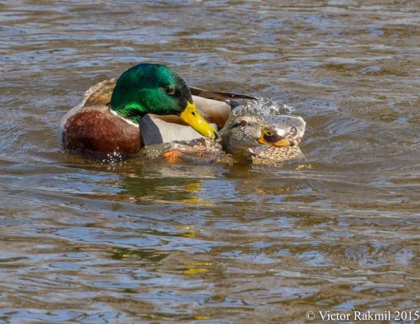 Aquatic Birds Do It