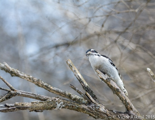 Downy WoodPecker-1
