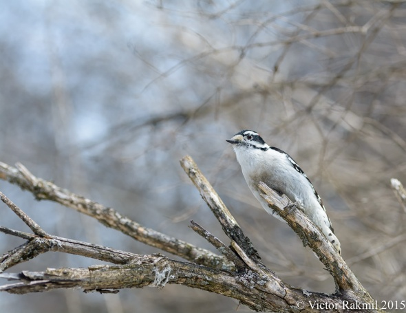 Downy WoodPecker-3