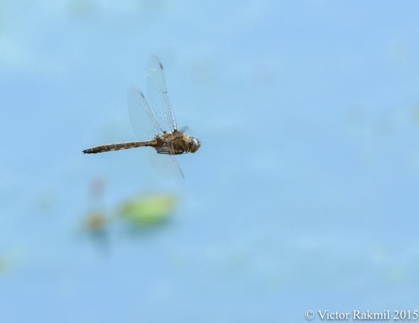 Dragonfly in Flight-2