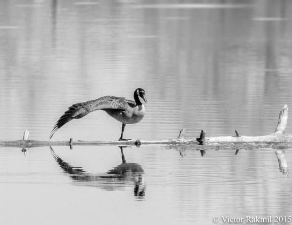 Goose on a Log