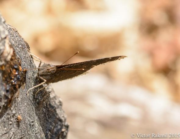 Mourning Cloak Butterflies-3