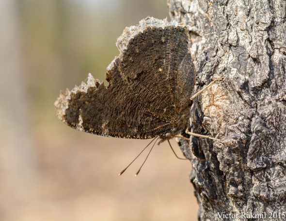 Mourning Cloak Butterflies