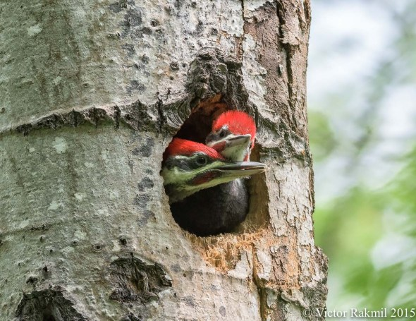Baby Pileated Wood Peckers