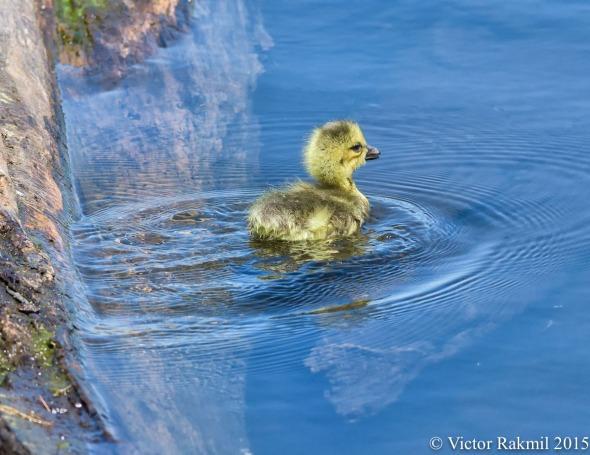 Canada Goose Duckling-2