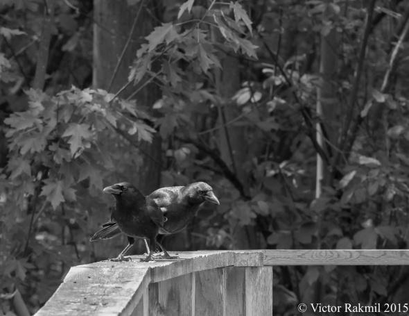 Conspiring Crows-2