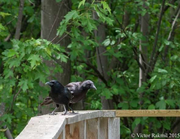 Conspiring Crows