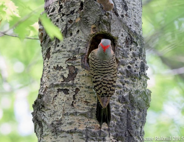 Northern Flicker-2