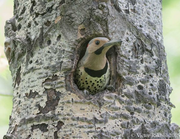 Northern Flicker-4