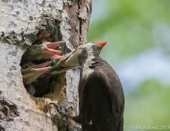 Pileated Woodpecker Chicks-3