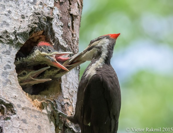 Pileated Woodpecker Chicks-4