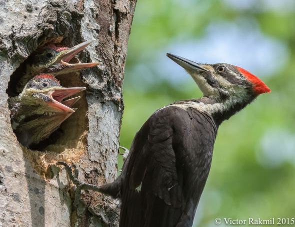 Pileated Woodpecker Chicks-6