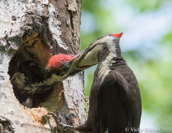 Pileated Woodpecker Chicks-7