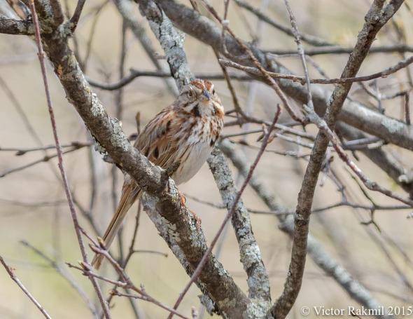 Song Sparrow-2