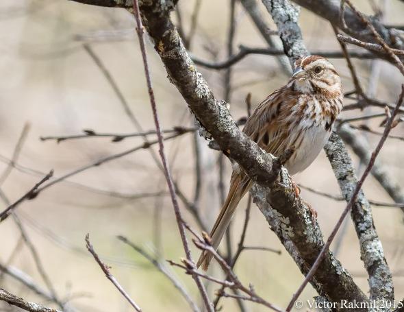 Song Sparrow-3