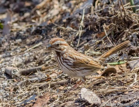 Song Sparrow-4