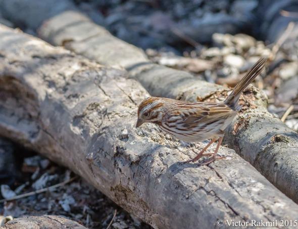 Song Sparrow-5