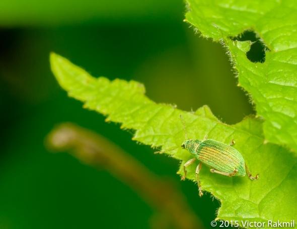 Weevil-2