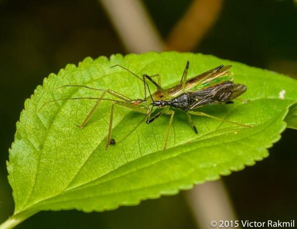 Assasin Bugs-2