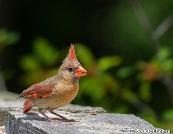Female Cardinal-2