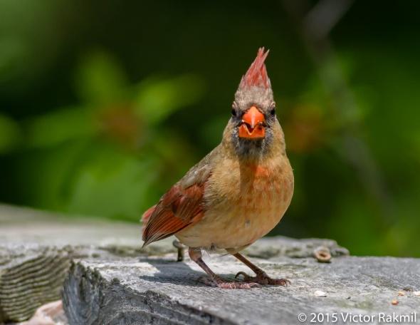 Female Cardinal-5