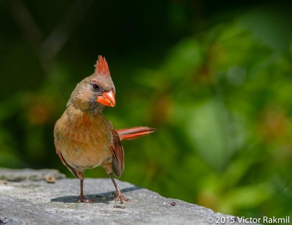 Female Cardinal-7