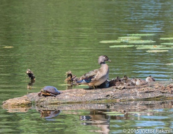 Wood Duck and Chicks-2