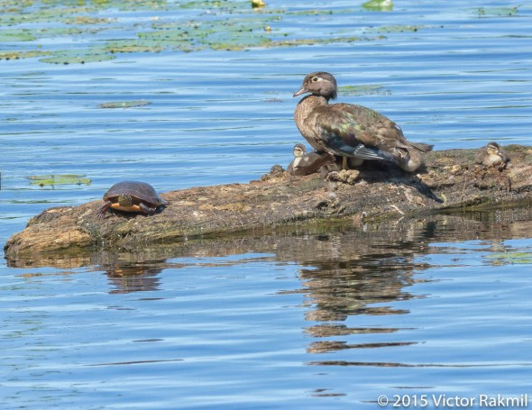 Wood Duck and Chicks