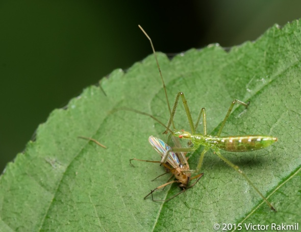 Assasin Bug and Fly-2