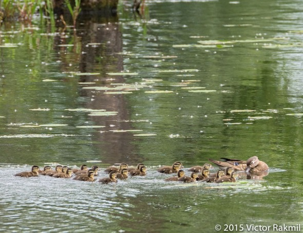 Ducklings in the Nursery