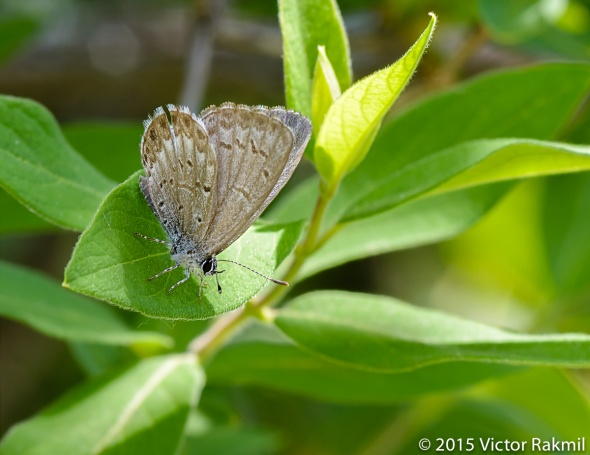 Hairstreak-2