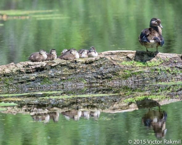 Mallard and its Chicks