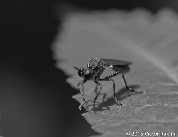 Robber Flies BW