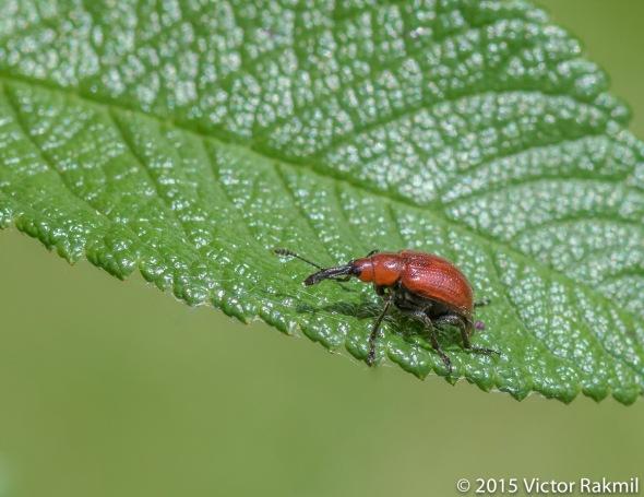 Weevil?