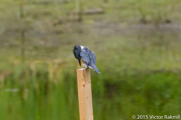 Belted Kingfisher-3