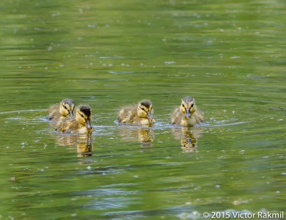 Duck weed party-2