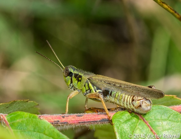 Grasshoppers-2