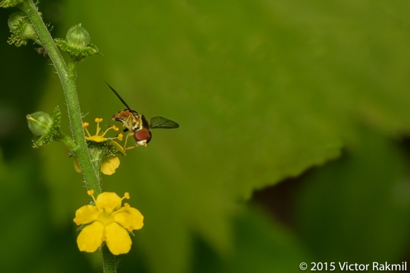 Hover Fly-2
