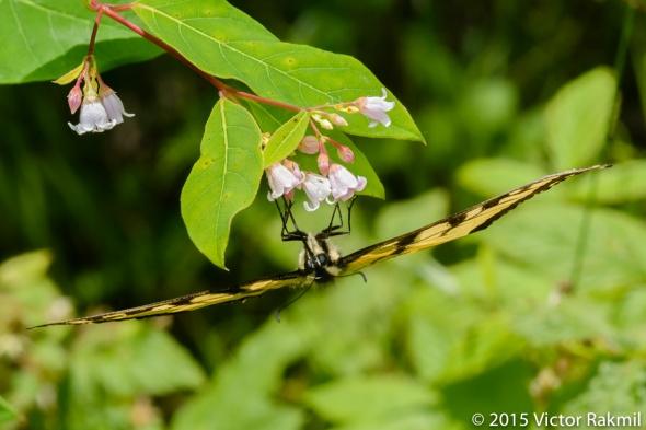 Swallowtail-4