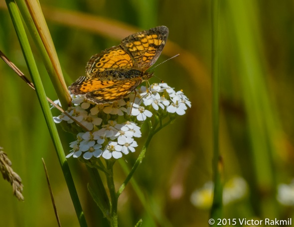 Crescent Butterfly-2