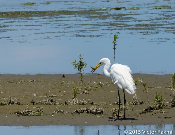 Egret Goes Fishing-11