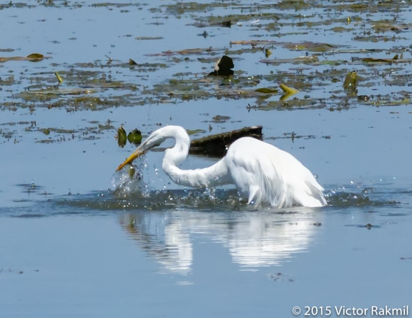 Egret Goes Fishing-2
