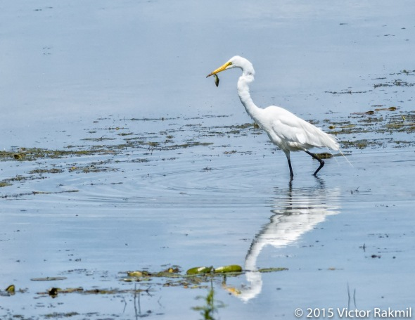 Egret Goes Fishing-3